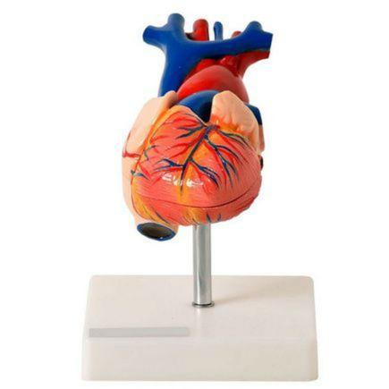 coracao-tamanho-natural-com-02-partes-anatomic.centermedical.com.br