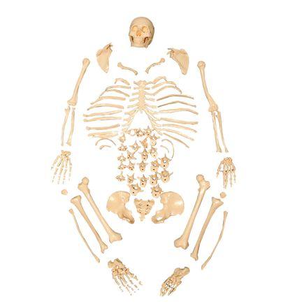esqueleto-padrao-desarticulado-anatomic.centermedial.com.br
