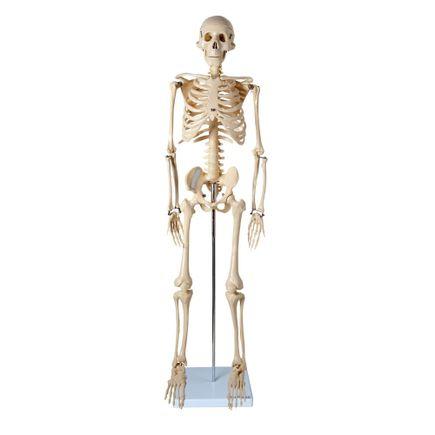 modelo-de-esqueleto-anatomic-85cm.centermedical.com.br