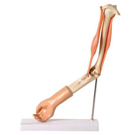braco-com-musculo-articulado-anatomic.centermedical.com.br