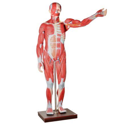 figura-muscular-assexuada-anatomic-170cm-com-27-partes-e-orgaos-internos.centermedical.com.br