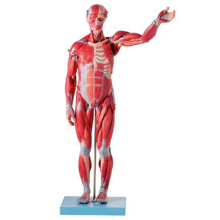 figura-muscular-assexuada-anatomic-78cm-com-orgaos-internos.centermedical.com.br
