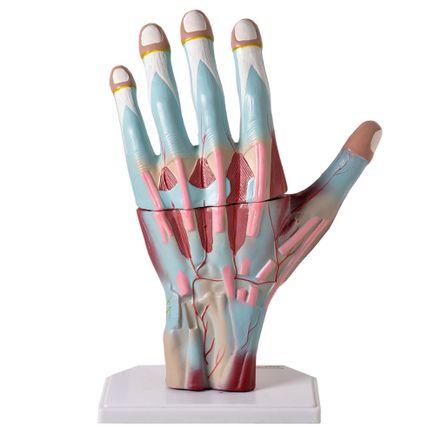 mao-muscular-ampliada-em-03-partes-anatomic.centermedical.com.br