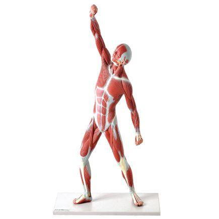 modelo-muscular-anatomic-50cm.centermedical.com.br