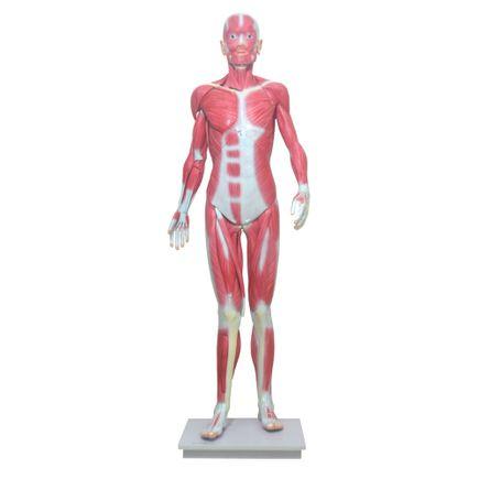 modelo-muscular-assexuado-anatomic-170cm-com-34-partes.centermedical.com.br