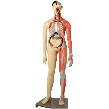 modelo-muscular-bissexual-anatomic-160cm-com-orgaos-internos.centermedical.com.br