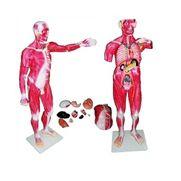 modelo-muscular-masculino-anatomic-170cm-com-orgaos-internos-em-30-partes.centermedical.com.br