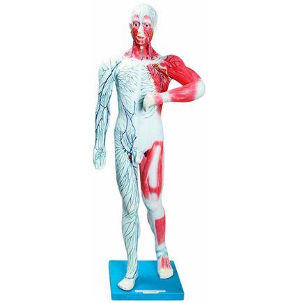 sistema-muscular-e-linfatico-anatomic.centermedical.com.br