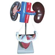 sistema-urinario-feminino-anatomic.centermedical.com.br