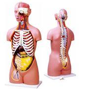 torso-assexuado-anatomic-85cm-com-17-partes-e-coluna-exposta.centermedical.com.br