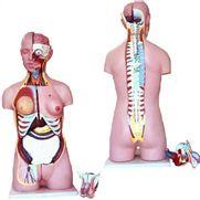 torso-bissexual-anatomic-85cm-com-26-partes-c-coluna-exposta.centermedical.com.br