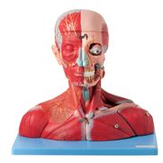 cabeca-e-pescoco-muscular-c-vasos-nervos-e-cerebro-anatomic-19-partes.centermedical.com.br
