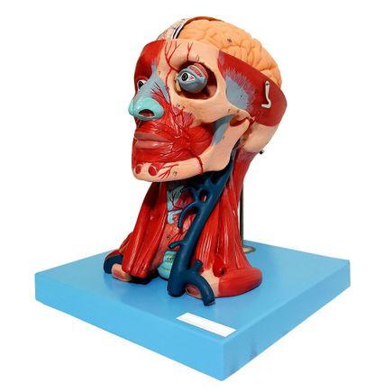 cabeca-muscular-c-cerebro-anatomic-10-partes.centermedical.com.br