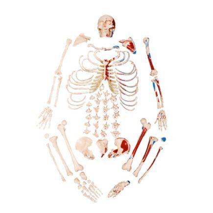 esqueleto-tamanho-natural-desarticulado-c-origem-e-insercao-muscular.centermedical.com.br