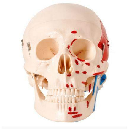 cranio-numerado-c-origem-e-insercao-muscular-anatomic-2-partes.centermedical.com.br