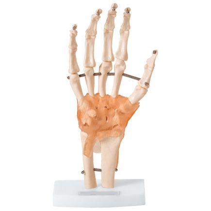 articulacao-da-mao-anatomic.centermedical.com.br