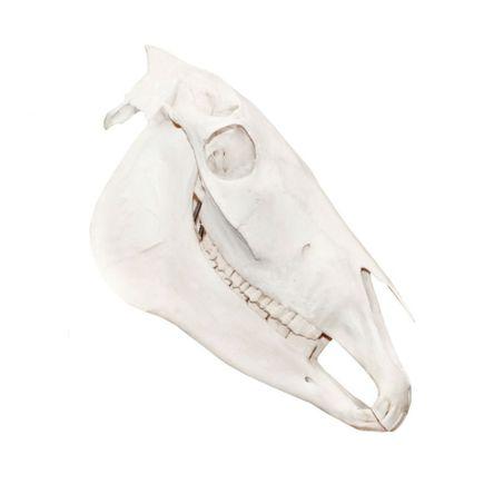 modelo-anatomico-de-cranio-de-cavalo-em-tamanho-natural.centermedical.com.br