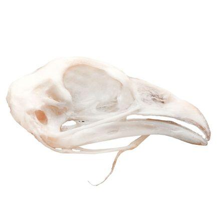 modelo-anatomico-de-cranio-de-galinha-em-tamanho-natural.centermedical.com.br