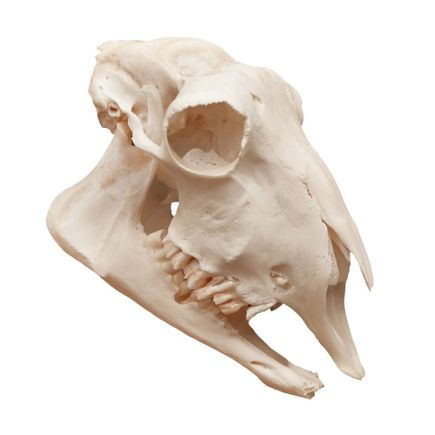 modelo-anatomico-de-cranio-de-ovelha-em-tamanho-natural.centermedical.com.br