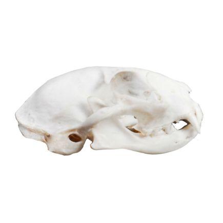 modelo-anatomico-de-cranio-de-gato-em-tamanho-natural.centermedical.com.br