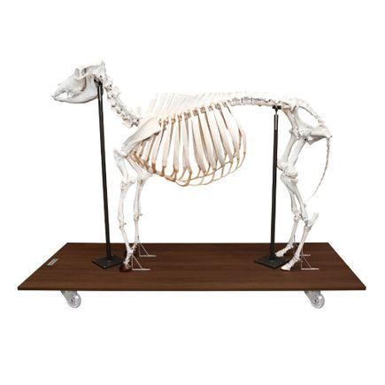 esqueleto-de-vaca-articulado-em-tamanho-natural.centermedical.com.br