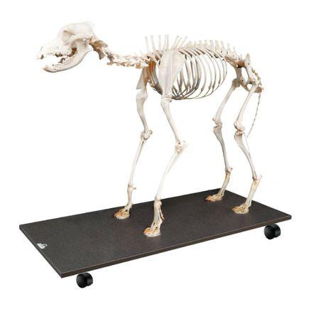 esqueleto-de-cachorro-articulado-em-tamanho-natural.centermedical.com.br