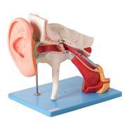 ouvido-ampliado-classico-em-8-partes.centermedical.com.br
