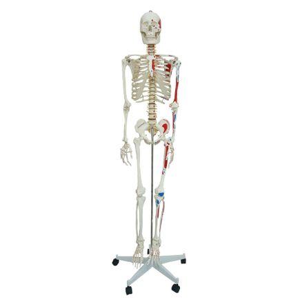 esqueleto-168-cm-articulado-c-insercoes-musculares-c-suporte-e-base-c-rodas.centermedical.com.br