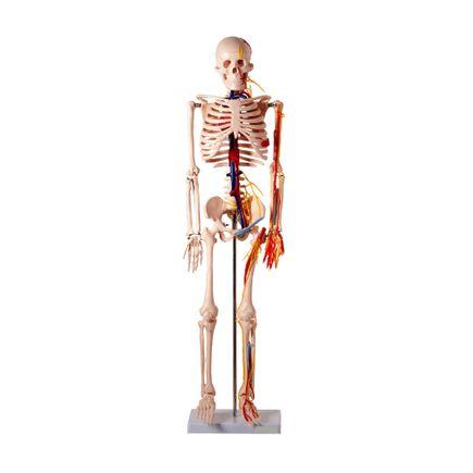 modelo-anatomico-esqueleto-humano-c-nervos-e-vasos-sanguineos-85cm.centermedical.com.br