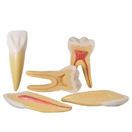 dentes-ampliados-anatomic-canino-incisivo-molar.centermedical.com.br
