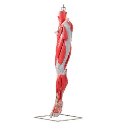 musculos-do-membro-inferior-anatomic-com-os-principais-vasos-e-nervos.centermedical.com.br
