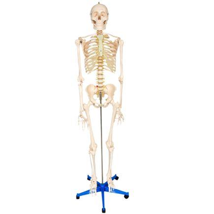 esqueleto-padrao-170cm-com-suporte-e-base-com-rodas.centermedical.com.br