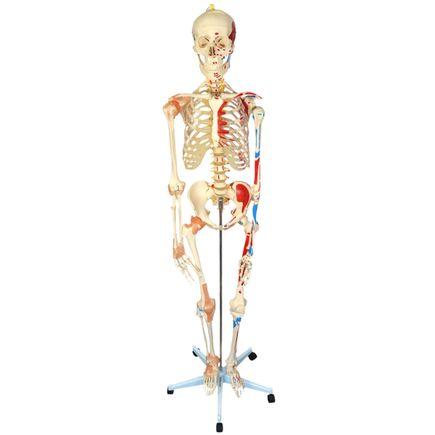 esqueleto-168cm-c-ligamentos-e-insercoes-musculares-c-suporte-e-base-c-rodas.centermedical.com.br