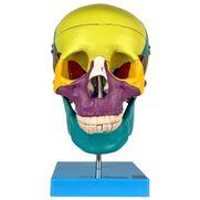 cranio-didatico-colorido-5-partes.centermedical.com.br