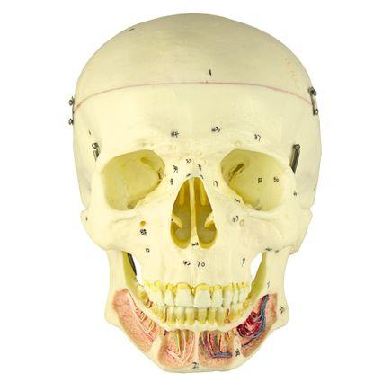 cranio-classico-com-mandibula-aberta.centermedical.com.br