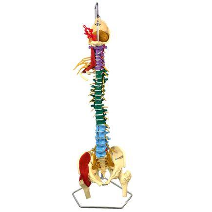coluna-vertebral-multifuncional-flexivel-em-tamanho-natural.centermedical.com.br