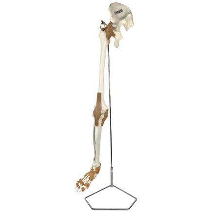 esqueleto-do-membro-inferior-com-articulacoes-e-suporte.centermedical.com.br