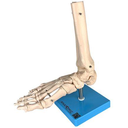 esqueleto-do-pe-com-ossos-do-tornozelo.centermedical.com.br