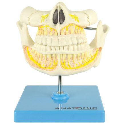 modelo-anatomico-denticao-adulta.centermedical.com