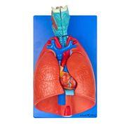 sistema-respiratorio-e-cardiovascular-com-07-partes.centermedical.com.br