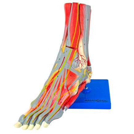 pe-muscular-c-principais-vasos-e-nervos-em-9-partes.centermedical.com.br
