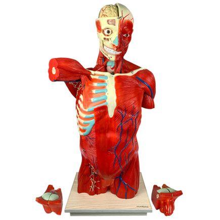 torso-muscular-108-cm-bissexual-assexuado-com-orgaos-internos-em-27-partes.centermedical.com.br