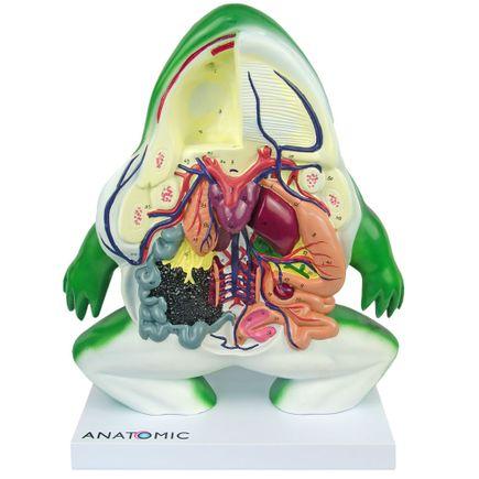 anatomia-do-sapo-em-corte-coronal-em-resina.centermedical.com.br