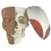 cranio-com-musculos-faciais.centermedical.com.br