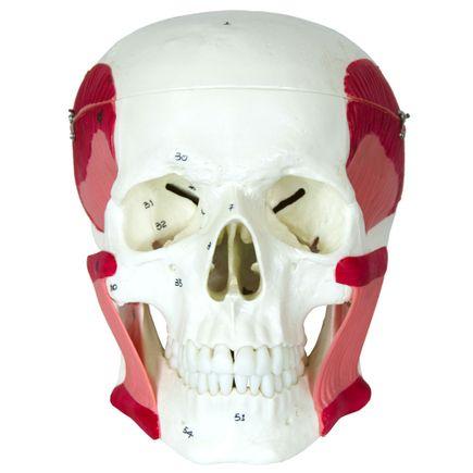 cranio-com-musculos-da-mastigacao.centermedical.com.br