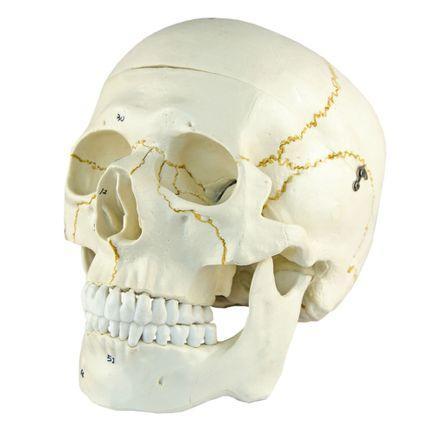 cranio-numerado-em-2-partes.centermedical.com.br