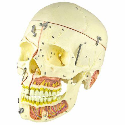 cranio-com-vasos-sanguineos-e-nervos-numerado-em-10-partes.centermedical.com.br