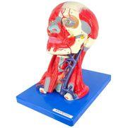 cabeca-cerebro-e-musculatura-em-10-partes.centermedical.com.br