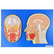 cabeca-em-corte-sagital-e-frontal.centermedical.com.br