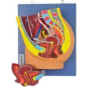 pelve-feminina-em-corte-mediano-em-2-partes.centermedical.com.br